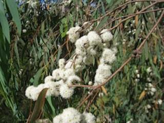 utilisation de l'huile essentielle d'eucalyptus