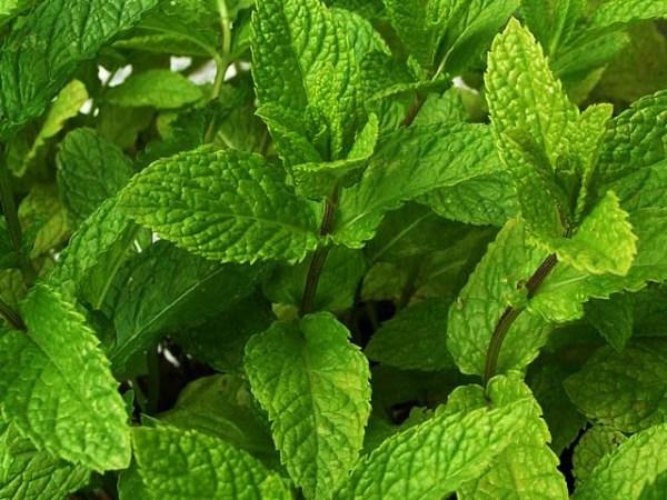 le thé à la menthe et ses bienfaits