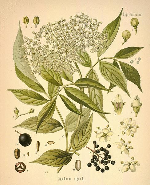 Botanical drawing of elder from Modern Herbal.