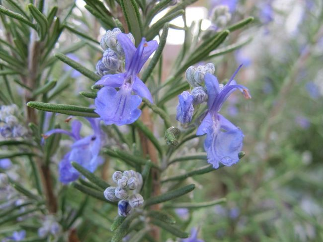 Rosemary in bloom.