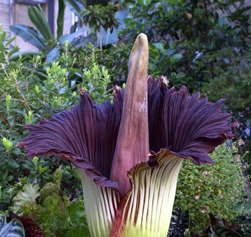 Corpse flower in bloom.