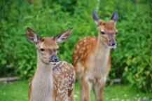 roe-deer-1482712_1280