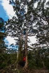 riesige Eukalyptusbäume und Carlo