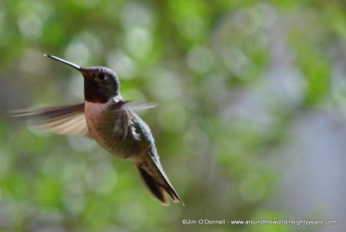 ruby throated hummingbird photo