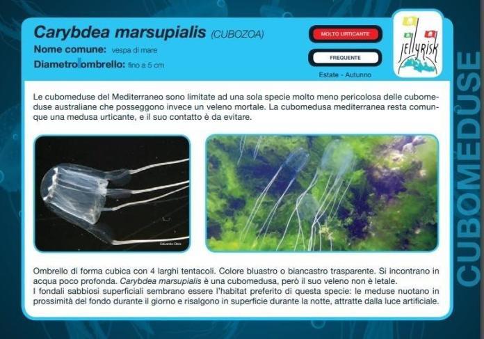 Carybdea marsupialis