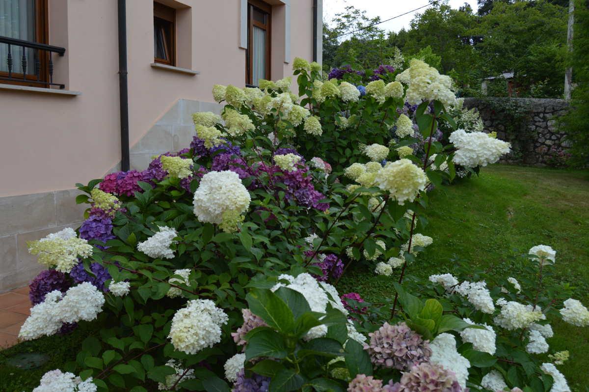 Detalle de las hortensias en flor en el jardín del hotel Rural Arpa de Hierba La Pereda Llanes