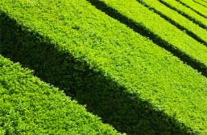 siepe giardino