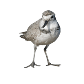 Wrybill - ngutupare