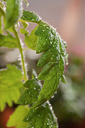 Close-up of tomato leaves sprayed with the salicylic acid pretreatment: Click here for photo caption.
