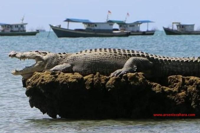 Oow Seram... Buaya muara atau crocodylus porosus tertangkap kamera.