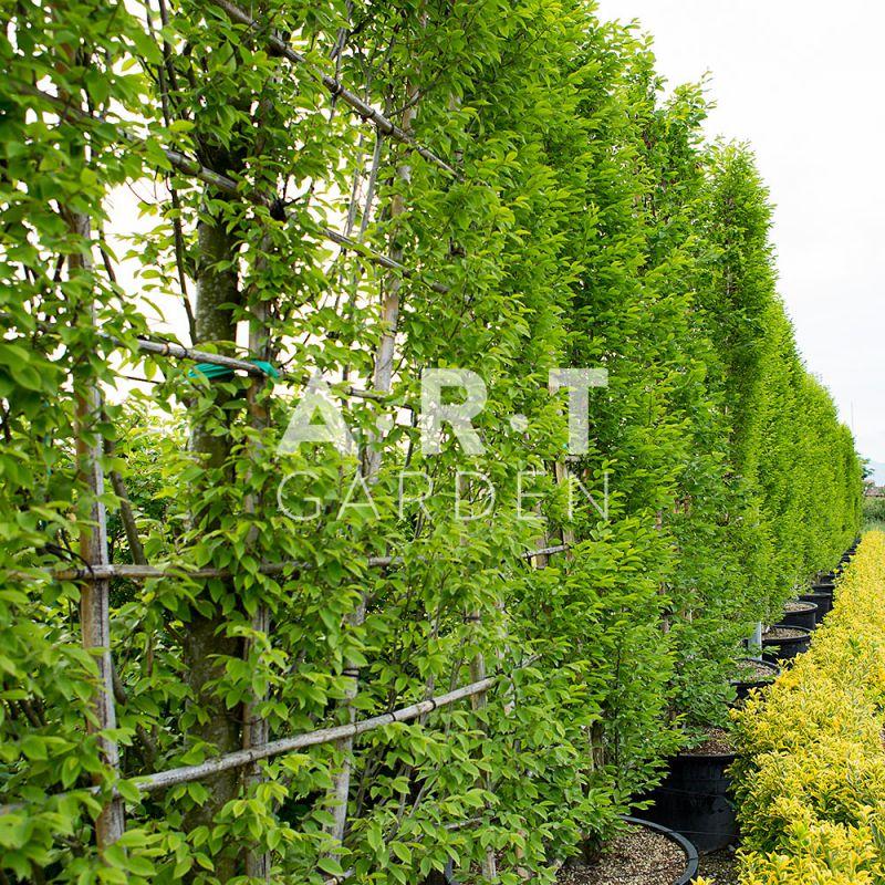 Carpinus Betulus Palis 300 CM Haut X 150 Cms Large Art