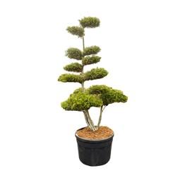 """Vente """"Juniperus Chinensis Kuriwao Gold"""". Taillé en Bonsaï avec soin et précision."""