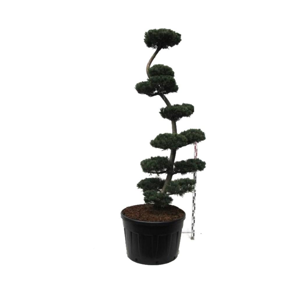 """Vente """"Pinus Glauca"""". Taillé en Bonsaï avec soin et précision."""
