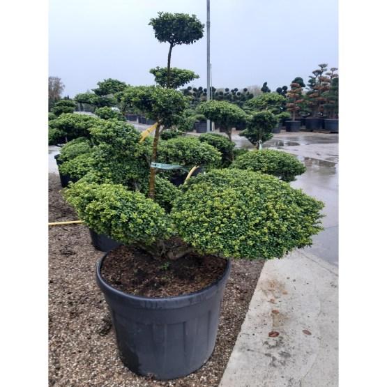 ilex-crenata-convexa-bonsai