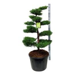 juniperus-pfitzeriana-aurea-bonsai