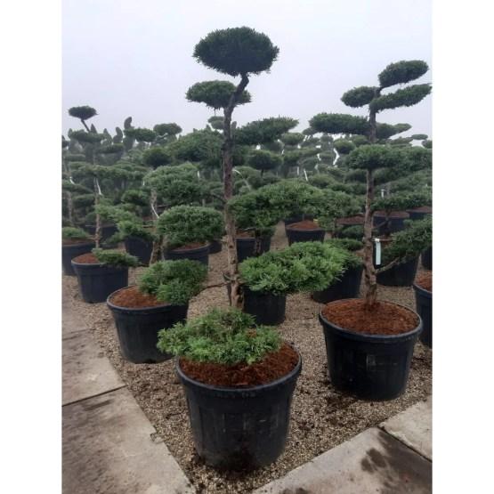 juniperus-pfitzeriana-bonsai