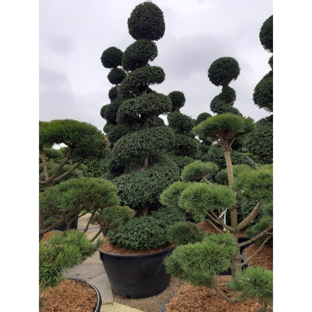 spirale-boule-taxus-baccata