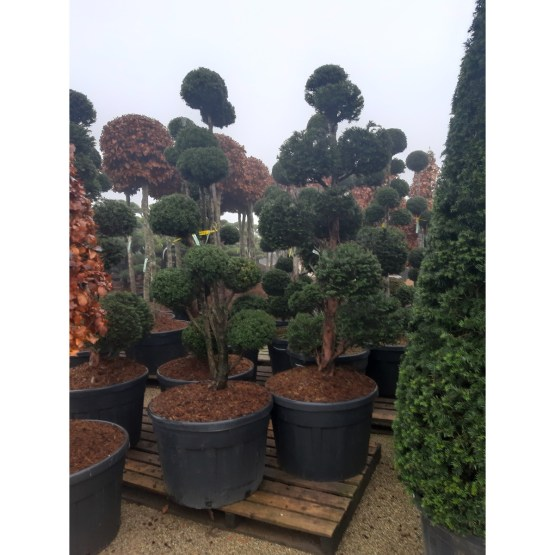 taxus-baccata-pompon