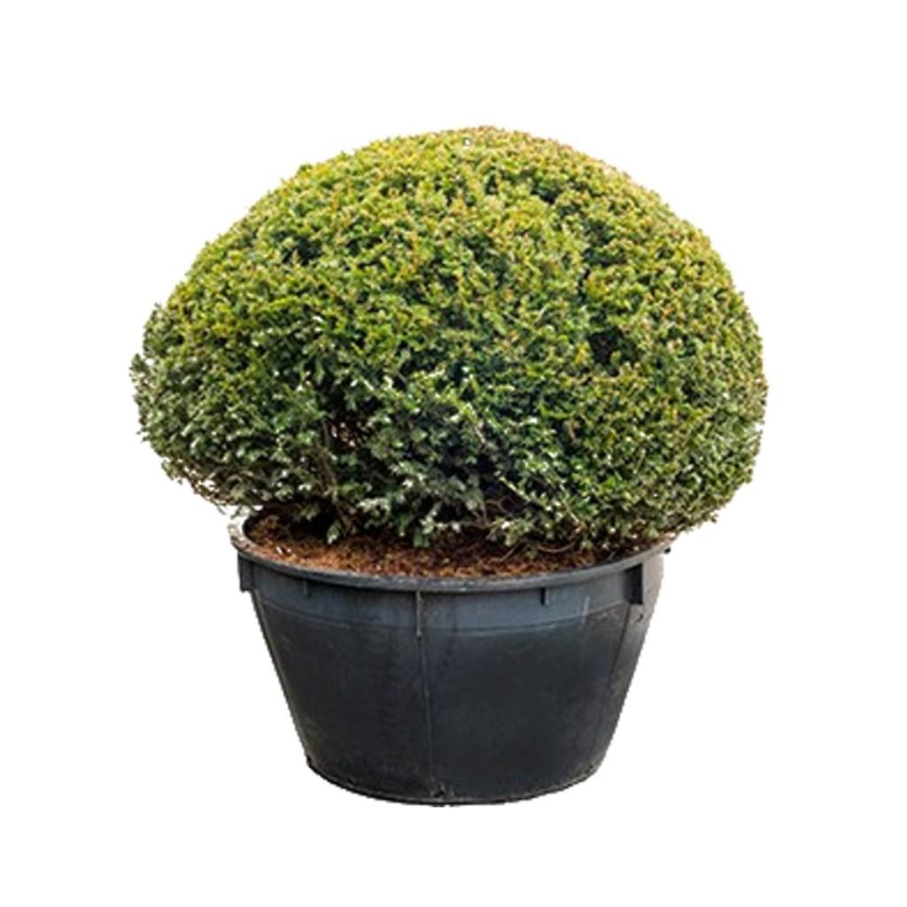 If commun Taxus Baccata taillé en boule unique