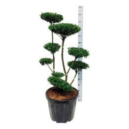 ilex-crenata-green-hedge
