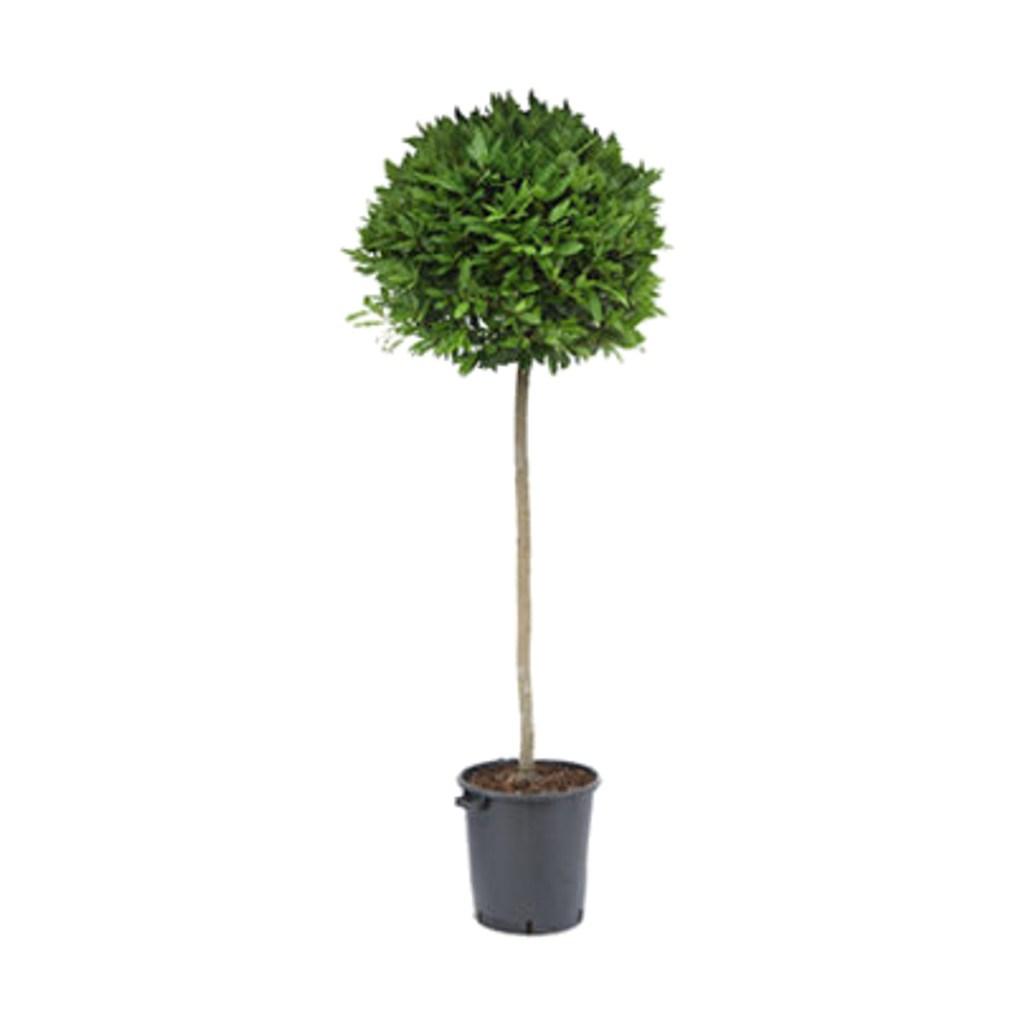"""Le Laurus Nobilis ou """"Laurier sauce"""" est un arbuste aux feuilles très aromatiques, coriaces, brillantes et vert sombre."""