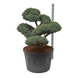 Juniperus Meyeri