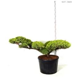 Bonsaï Juniperus Chinensis