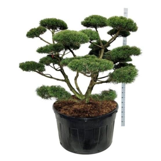 bonsai-pinus-mugo-gnom