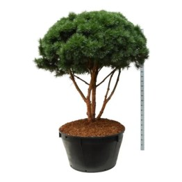 bonsai-pinus-sylvestris-watereri