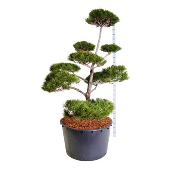 pinus-contorta-bonsai