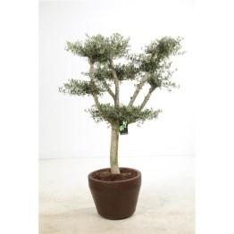 Olivier bonsai