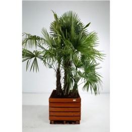 Trachycarpus fortunei bac