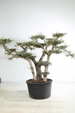 Olea europea bonsaï