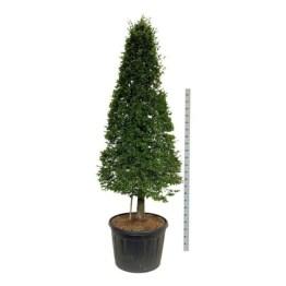 Carpinus-betulus-cone