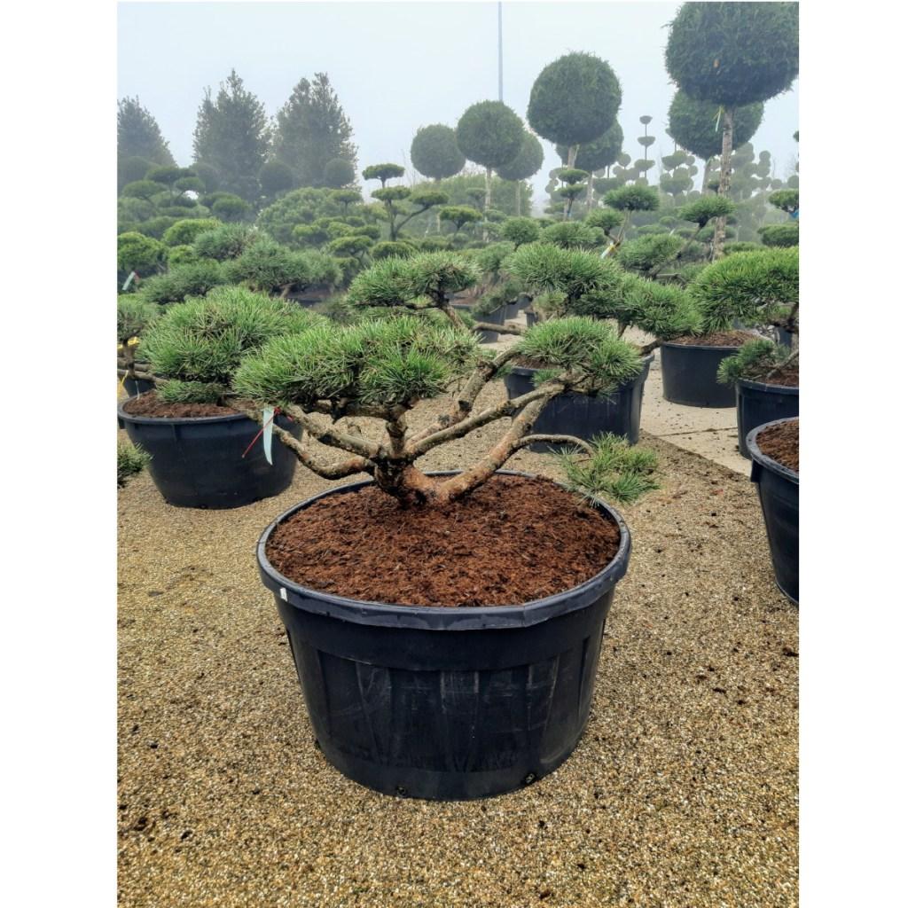 bonsai-pinus-sylvestris-repens