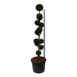 thuja-occ-smaragd-pompon