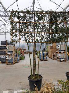 Quercus ilex palissé ramifié
