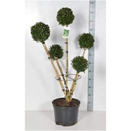 buxus-sempervirens-5-branches