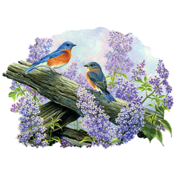 SPRING COURTING - EASTERN BLUEBIRDS