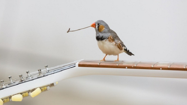 Image- A Zebra finches on the electric guitar shows off a twig picked up during her flight in the exhibition space