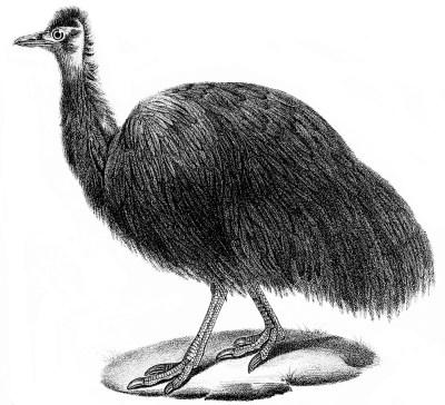 schwarzer emu Dromaius ater