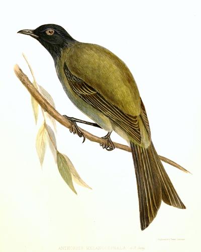 chatham-glockenhonigfresser / Anthornis melanocephalus