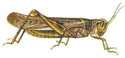 felsengebirgsschrecke Melanoplus spretus
