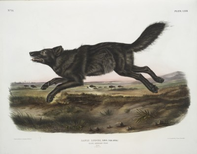 florida-rotwolf Canis rufus floridianus
