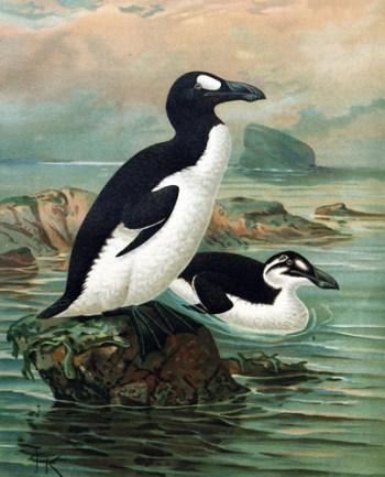 riesenalk / Pinguinus impennis