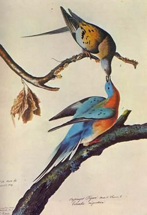 wandertaube Audubon