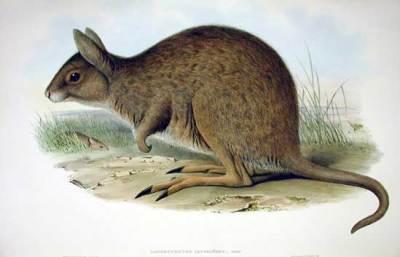 östliches hasenkänguru lagorchestes leporides