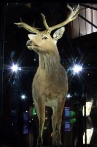 schomburgk-hirsch im museum