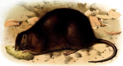 weihnachtsinsel-ratte Rattus nativitatus