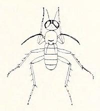 Emperoptera mirabilis Koolau-Spornflügel-Langbeinfliege